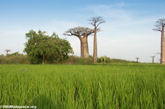 http://www.namadagaskare.ru/img/pages/Тропические влажные леса