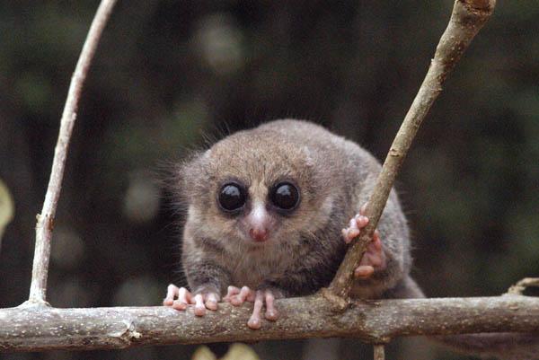 http://www.namadagaskare.ru/img/pages/Мадагаскарские лемуры